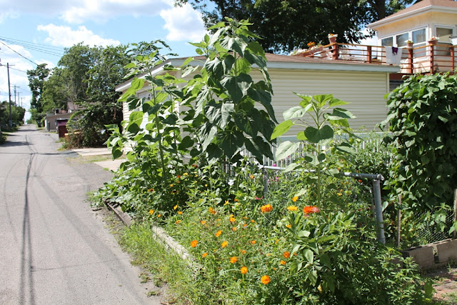 The sunflowers are at least eight feet tall.