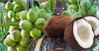 coconut fruit,নারকেল