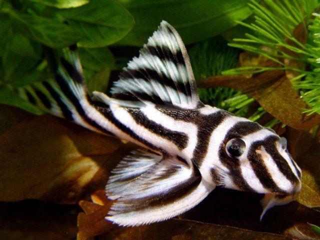 Jenis Ikan Sapu-Sapu