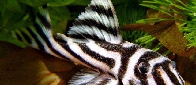 16 Jenis Ikan Sapu-Sapu (Pleco) Terpopuler di Indonesia