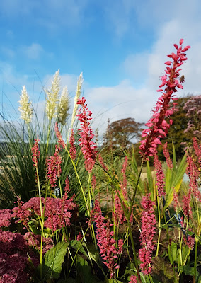 Persicaria and Cortaderia in the  nursery gardens