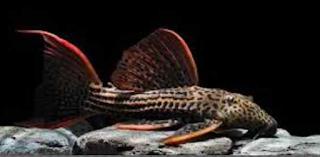 Ikan Sapu-Sapu Hias Scarlet