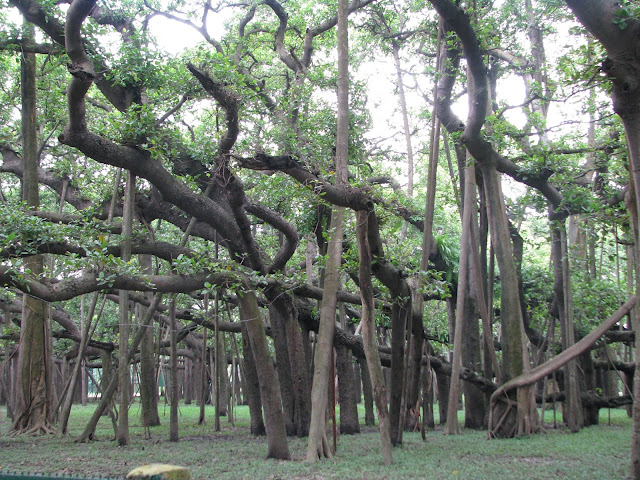 5 amazing facts about banyan tree