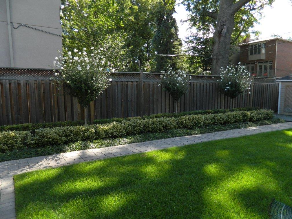 Formal spiraea euonymus hedge White Chiffon rose of sharon standards by garden muses-a Toronto gardening blog