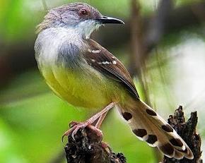 Cara Paling Jitu Membedakan Burung Ciblek Jantan dan Betina