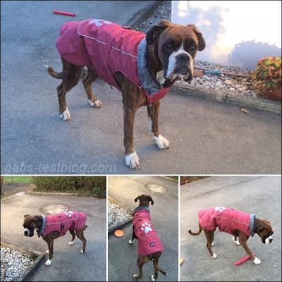 Boxer Amys neuer Mantel