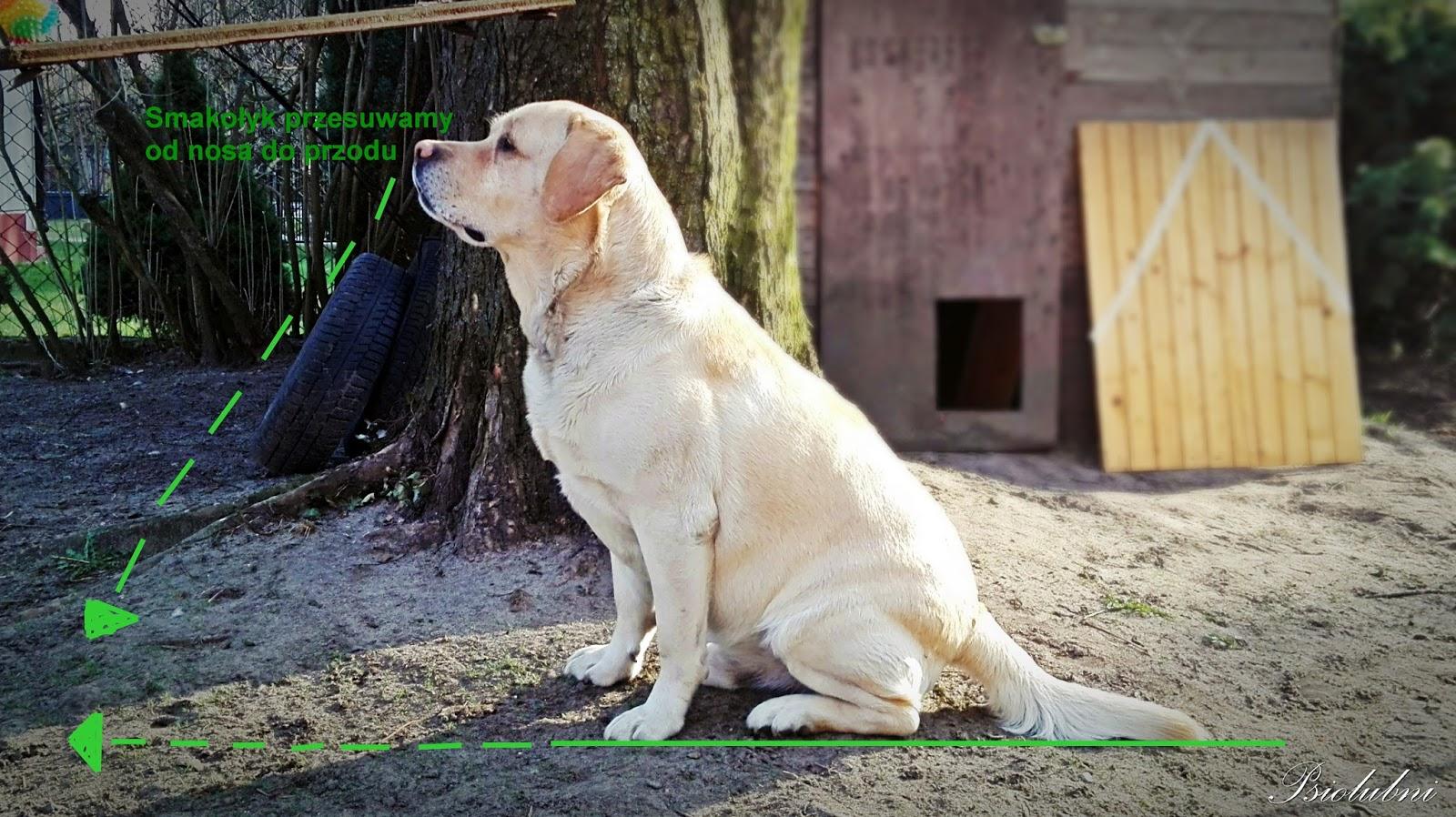 jak nauczyć psa komendy leżeć, waruj psy, psiolubni.com.pl, poradnik dla właścicieli psów, blog o psach,