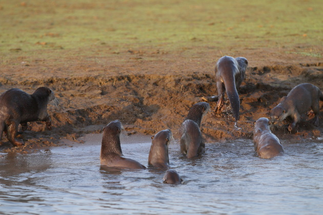 Seeing many otters at one shot - a rare occurence at Kabini Tiger Reserve, Karnataka, India