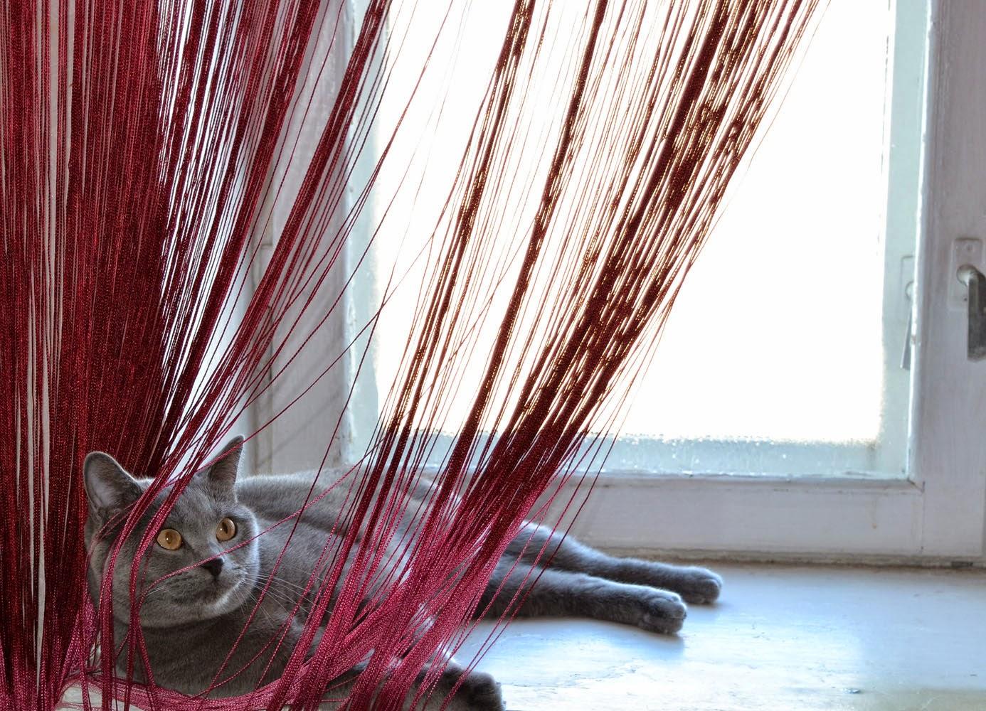 фото британского кота