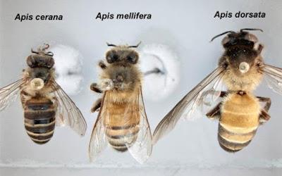 madu ternak asli
