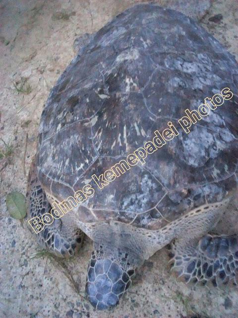 giant turtle extinct, giant sea turtle video, giant turtle underwater, giant turtle spain, giant turtle washed ashore, giant tortoise representative species, giant tortoise galapagos, aldabra giant tortoise
