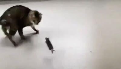 Tikus ketakutan diserang kucing