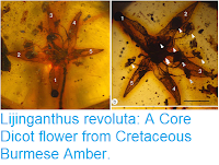 http://sciencythoughts.blogspot.com/2018/11/lijinganthus-revoluta-core-dicot-flower.html