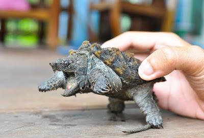 Temperamen Alligator Snapping Turtle