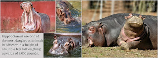 Hippopotamus are one of the most dangerous animals in Africa
