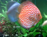 Sejarah Ikan Hias Discus jenis discus