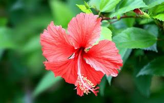 Gambar Bunga Sepatu Cantik 1