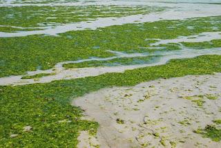Lumut maritim atau kelp yaitu salah satu jenis alga cokelat Hutan Lumut Laut (Kelp)