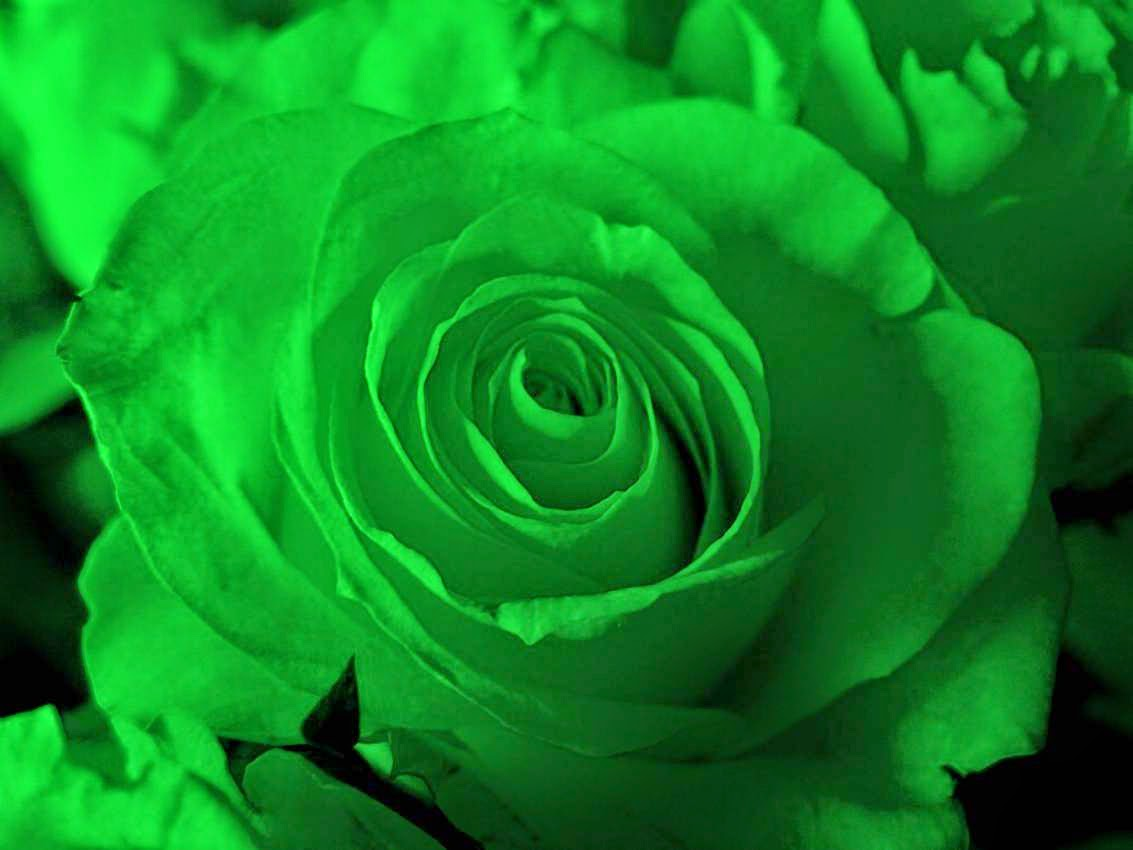 Green Rose HD Wallpapers
