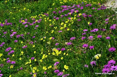 какие цветы растут в Португалии