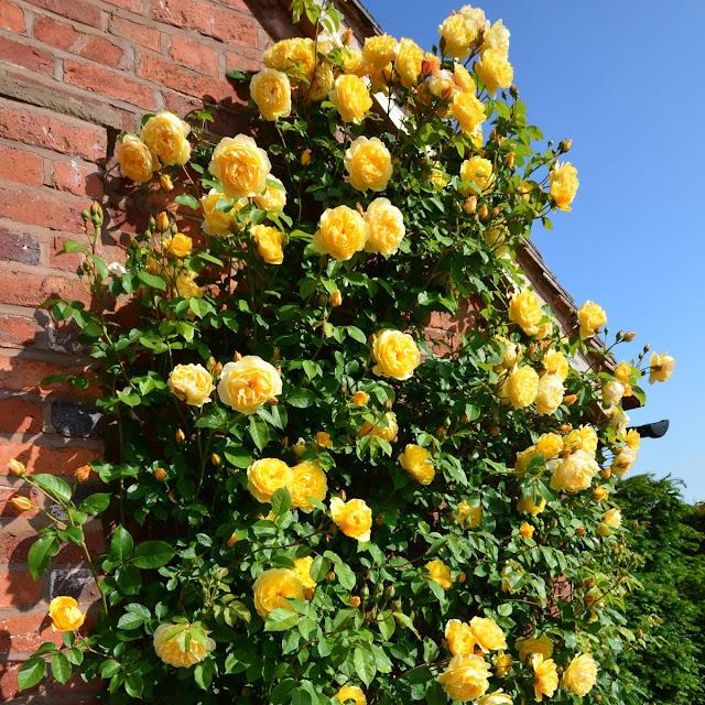 tường mộc và hoa hồng leo