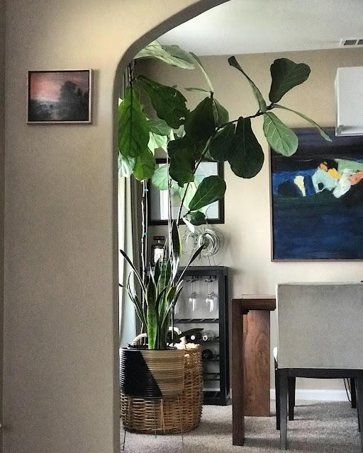 Fiddle Leaf Fig indoor