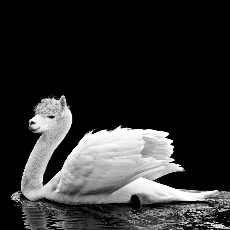 06-Swan-Lama-AOG-Fredriksen-Animal-Art-www-designstack-co