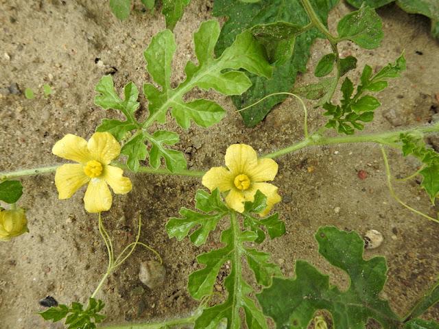 kwiaty arbuza mają pięć płatków i są żółte
