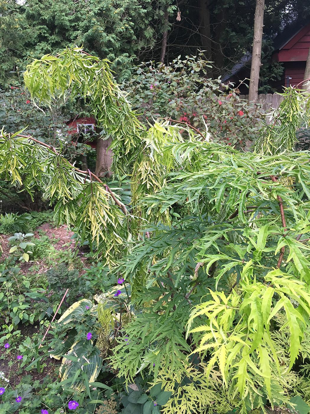 Call In The Plant Coroner When Disease Wins The Impatient Gardener