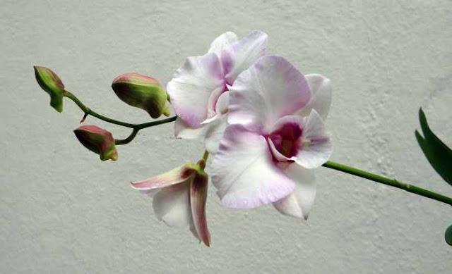 Orquideas dendrobium como cuidar