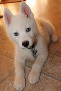 I Want A White Dog With Blue Eyes Luv My Dogs