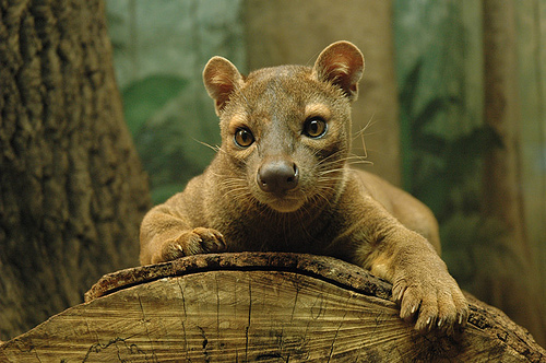 fossa fun animals wiki videos pictures stories