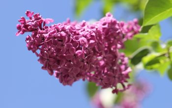 Wallpaper: Lilac Flowers