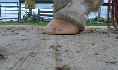 horse lameness caused by negative coffin bone angle, bullnose