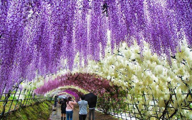 زهور الوستارية حديقة كاواتشي فوجي