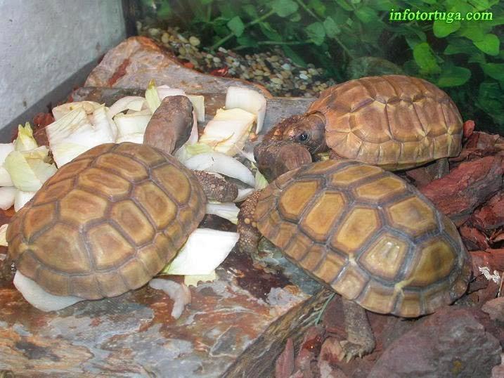 Crías de Kinixys belliana