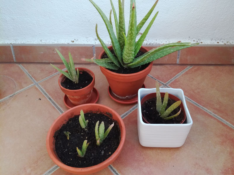 Le mie piante di Aloe vera