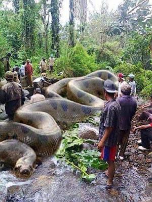 PERU': CATTURATA ENORME ANACONDA TERRORE DEL RIO DELLE AMAZZONI
