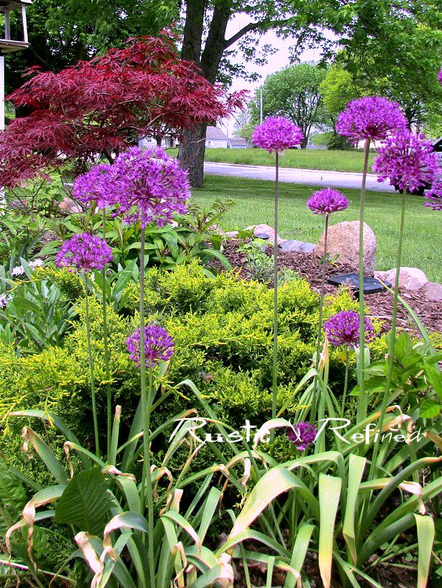 Allium Bulbs