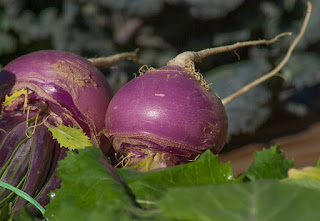 amish turnip recipes