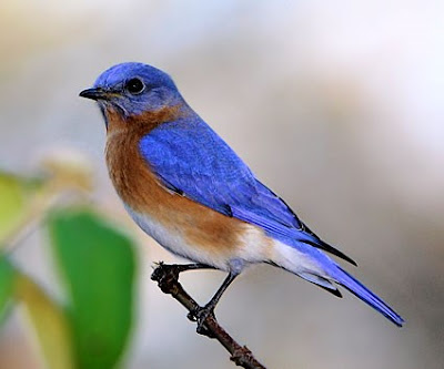 best canary bird blue