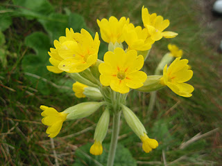 Flores amarillas de Primavera o Vellorita (Primula veris)