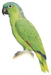 Amazona guatemalae