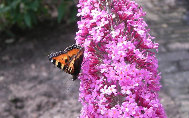 Oranje vlinder op een roze vlinderstruik