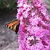 Foto mooie vlinder op vlinderstruik