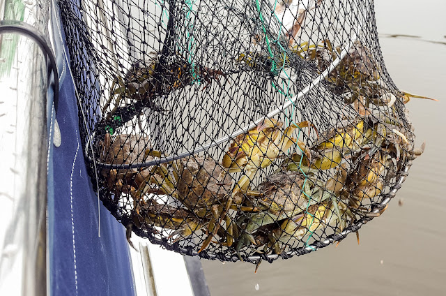 Photo of some of the crabs we netted during our first attempt