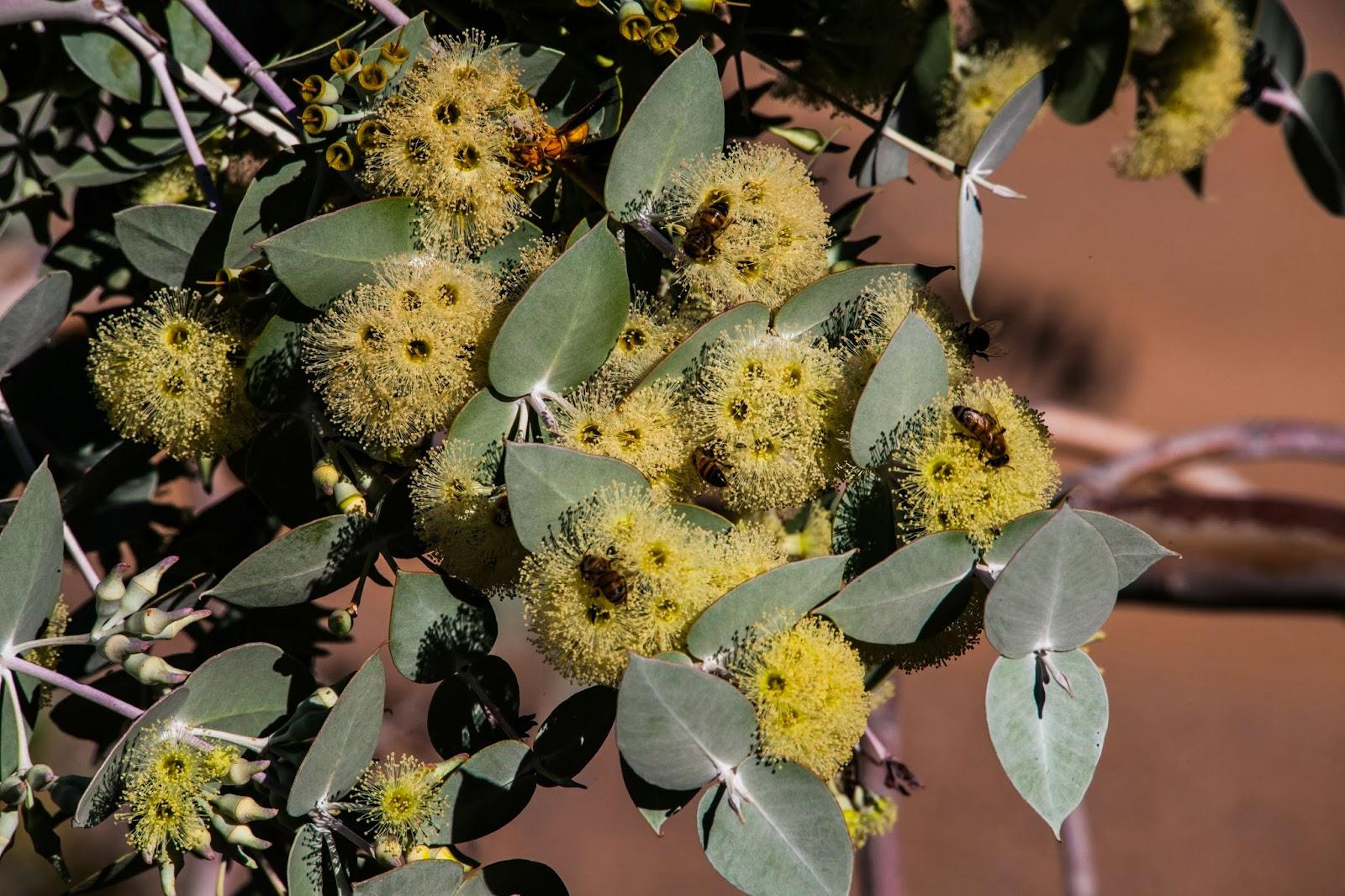 Walking Arizona: Yellow Eucalyptus Tree Flowers