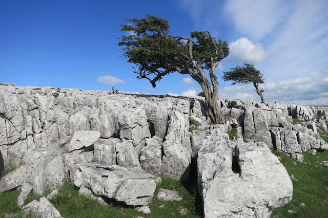 twistleton scar end tree, ingleton, yorkshire dales