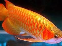 Meraup Rupiah Dengan Cara Ternak Ikan Arwana Yang Benar