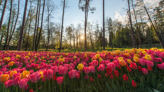 Wallpaper: Sun Rays through Field of Tulips